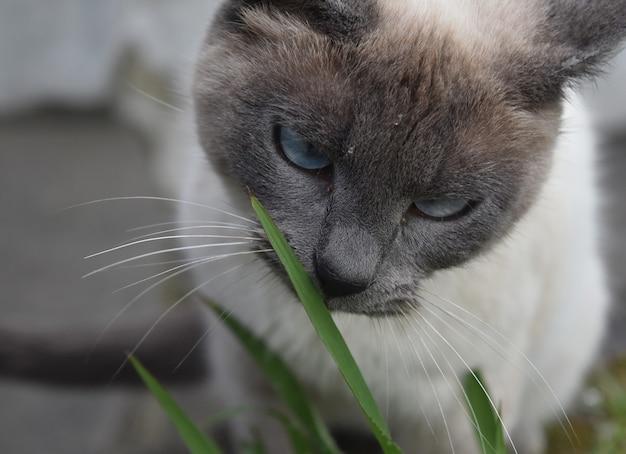 옅은 파란색 눈을 가진 멋진 크림색과 회색 샴 고양이.