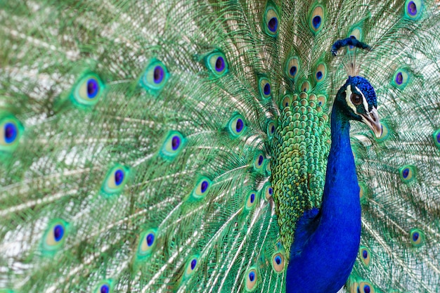 Stunning indian male peacock with open wings showing all its blue eyes over green plumage.