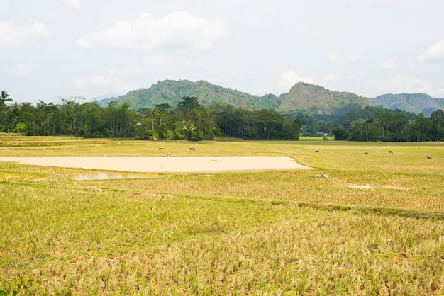 Stunning landscape of water filled rice fields and scenic cloudscape in tana toraja, south sulawesi, indonesia.