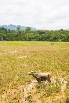 Stunning landscape of water filled rice fields and scenic cloudscape in tana toraja