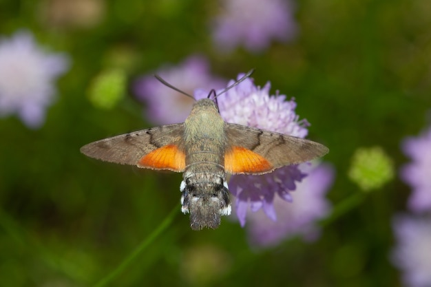 Stunning macro shot of a flying hummingbird hawk-moth insect collecting nectar on a wildflower