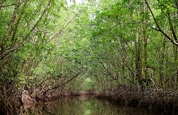 Stunning tree tunnels view from boating along the river in mangrove forest, trat province, thailand