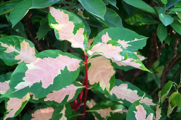 Stunning two-tone color leaves of the caricature plant or graptophyllum pictum