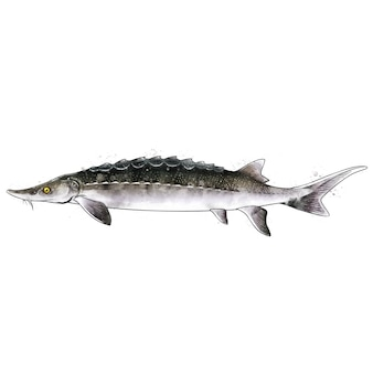 Sturgeon, watercolor isolated illustration of a fish.