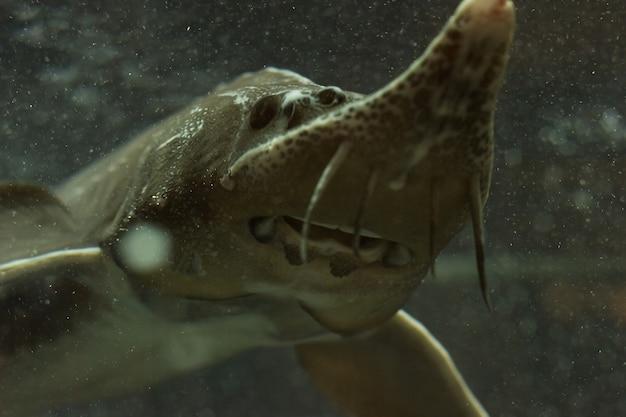 철갑 상어는 물 탱크에서 물고기.