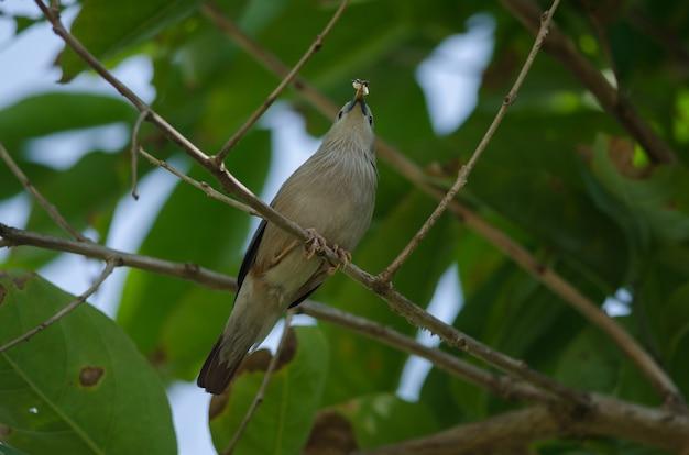枝に立っている栗の尻尾の鳥(sturnus malabaricus)