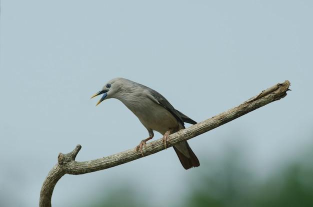 タイ、自然の枝に立つ栗の尾をしたスターリングの鳥(sturnus malabaricus)