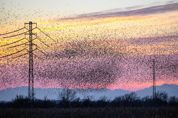 日没時に大きなグループで飛んで一般的なムクドリ(sturnus vulgaris)