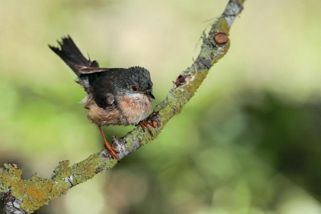 Субальпийская певчая птица на ветке