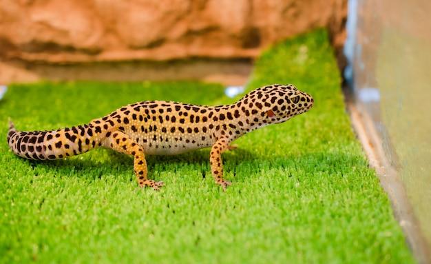 Sublethal leopard (gecko)는 새장에있는 애완 동물 가게에서 푸른 잔디에 앉아