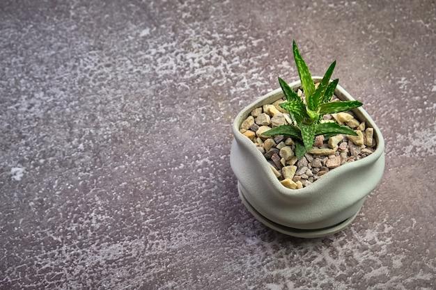 灰色のコンクリート表面のモダンなポットのジューシーなアロエベラ