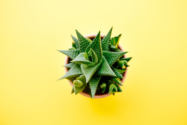 Succulent and cactus haworthia in a pink flower pot on a solid color background with copy space. modern minimalist home decor. top view