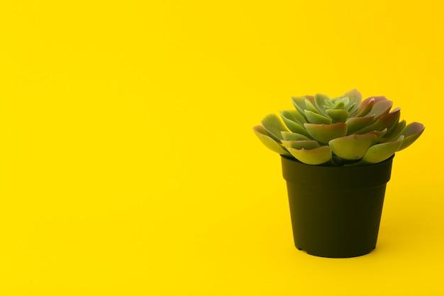 노란색에 즙이 많은 선인장 식물