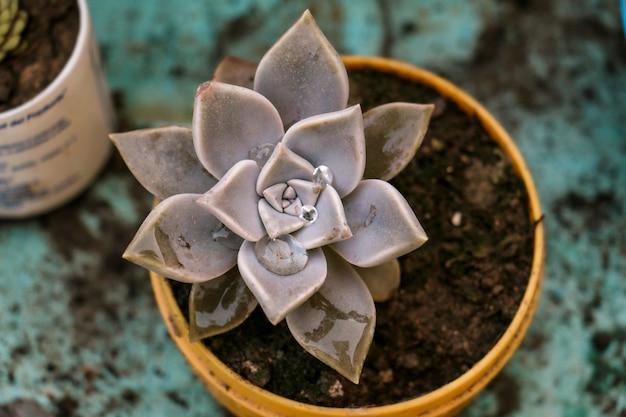 Сочный катус с толстыми листьями в горшке, наполненном почвой и компостом
