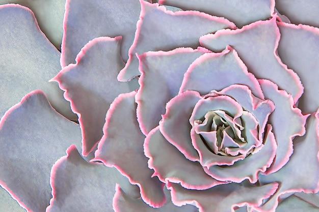 Сочные эхеверии с лепестками с розовой каймой