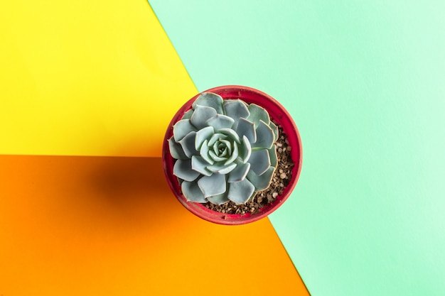 Succulent flower on bright colored. flat lay, top view