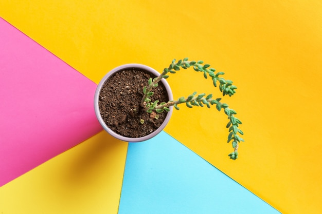 Succulent flower on bright colored surface. flat lay, top view