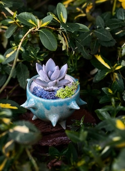 Succulent in the glance blue flowerpot among green-yellow leaves of barberry bush