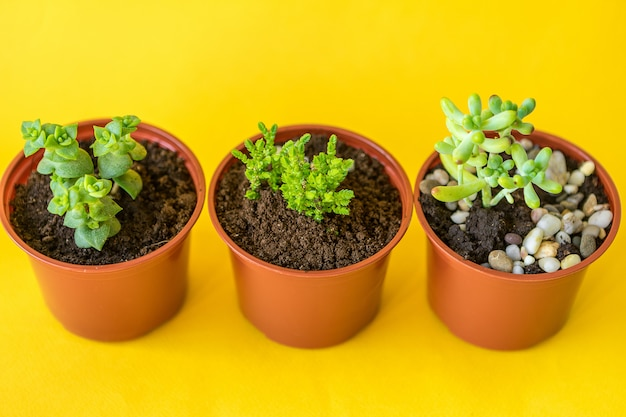 Succulent house plant small sprouts on a yellow background
