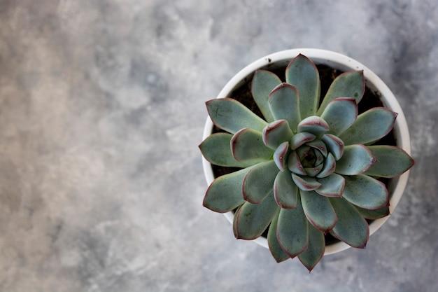 Сочное домашнее растение в горшке