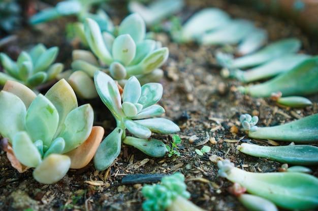 多肉植物の葉の繁殖家庭でのガーデニング植物の葉を植える