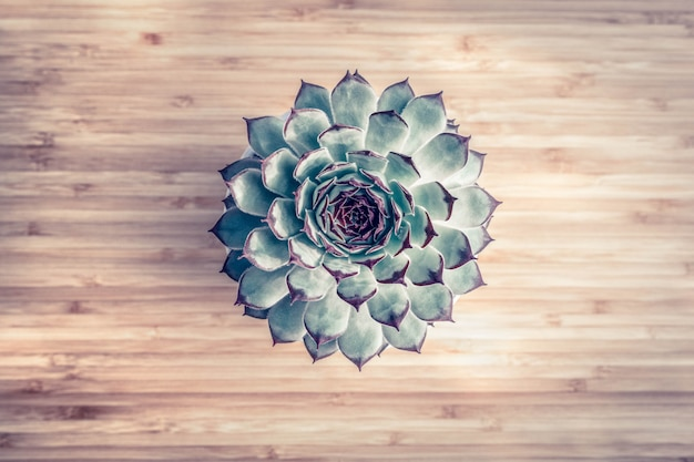 Succulent on light wooden background, top view