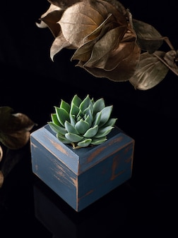 Succulent plant  in the blue wooden flowerpot and golden leaves as a decoration  isolated on black acrylic