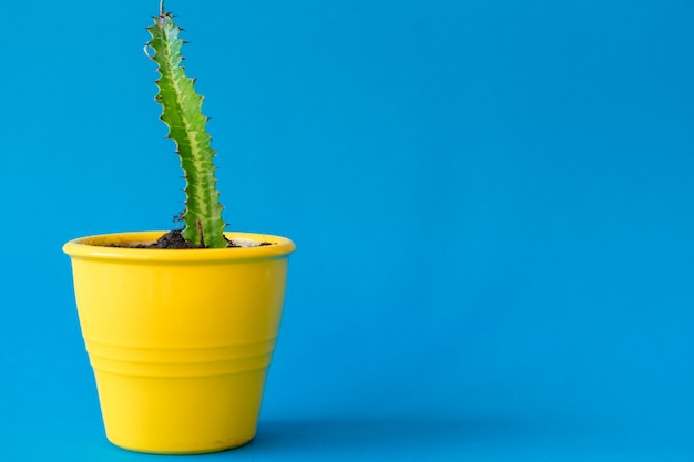 Succulent plant in a clay pot over a blue
