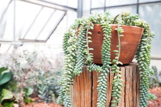 Суккулентное растение в керамике, растущей в теплице