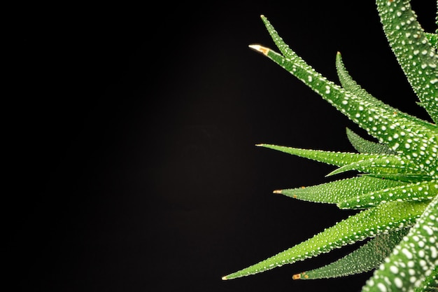 Succulent plant leaves on black background close up photo
