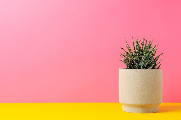 Succulent plant in pot against pink surface