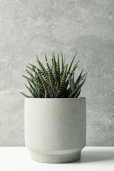 Succulent plant in pot on grey surface