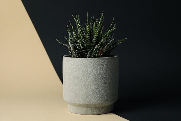 Succulent plant in pot on two tone background, space for text
