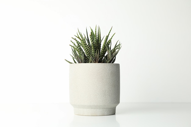 Succulent plant in pot on white surface