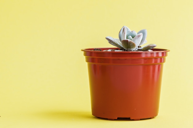 Succulent plant on a yellow .