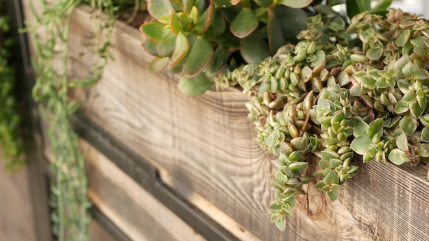 즙이 많은 식물 수집, 미국 캘리포니아의 원예. 가정 정원 디자인, 다양한 식물 암탉과 병아리의 다양성. 장식용 장식용 echeveria houseplants, 화초 재배의 모듬 혼합