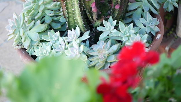Сбор суккулентов, садоводство в калифорнии, сша. дизайн домашнего сада, разнообразие различных ботанических кур и цыплят. ассорти из декоративных декоративных комнатных растений эхеверии, цветоводство