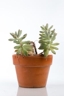 Сочные растения в горшочке изолированы