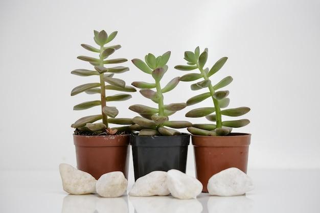 흰색 배경을 가진 냄비에 즙이 많은 식물