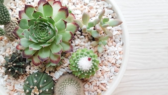 Succulent plants in are arranged in the pot
