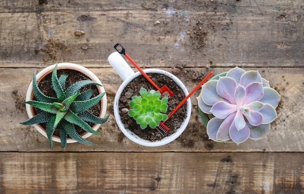 Succulent plants in pot with shovel and rake