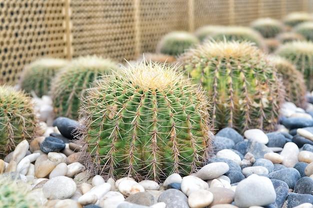 とげのある棘を持つ多肉植物。サボテンは小石の背景で育ちます。砂漠、公園、庭。装飾、風景、デザイン。