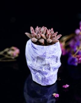 Succulent in the purple flowerpot in the shape of a skull