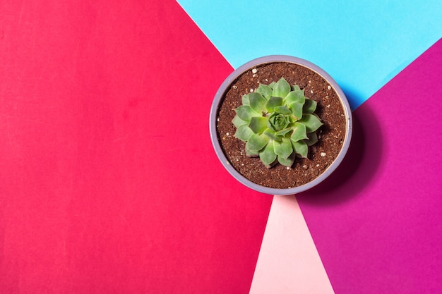 Succulent in small pot top view