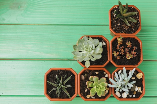 Succulent sprouts on green weathered wooden surface top view