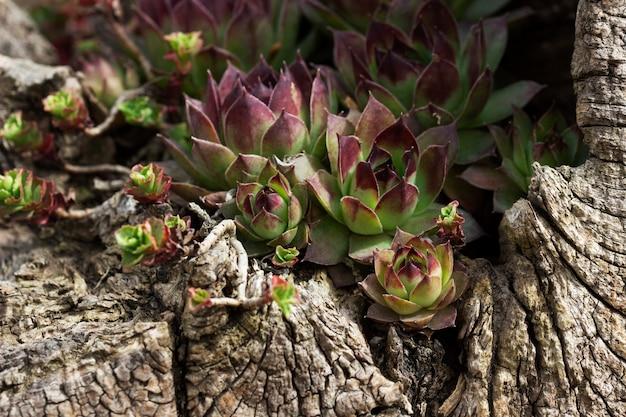 다육식물은 콘크리트의 오래된 나무 그루터기에 심어진다