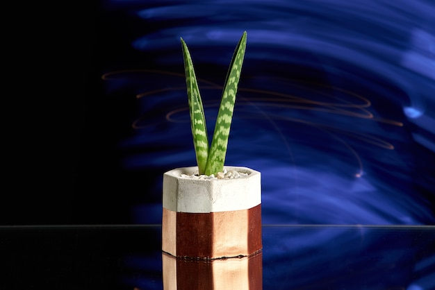 Succulents in gold color concrete pot on blue light background. clean photo