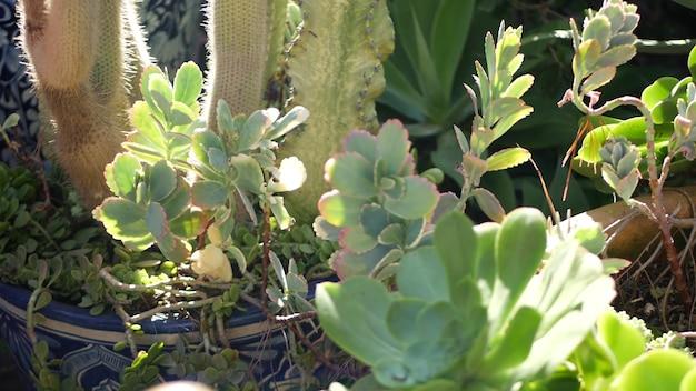 Суккуленты в цветочном горшке, садоводство в калифорнии, сша. зеленые комнатные растения в красочных глиняных горшках. дизайн сада в мексиканском стиле, декоративное цветоводство засушливых пустынь. натуральная ботаническая декоративная зелень