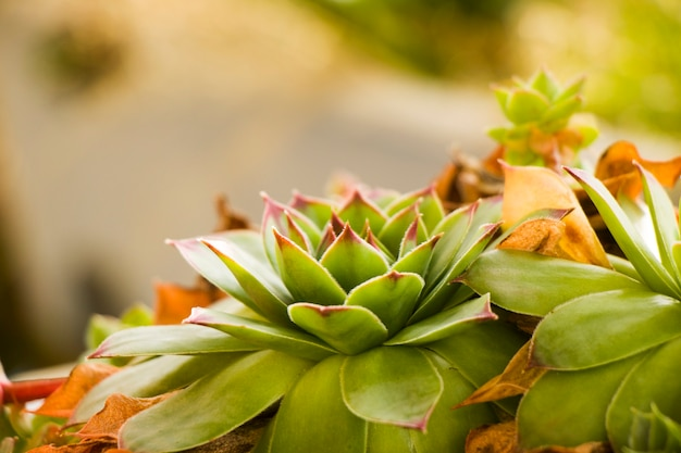 Succulents on the rock, green color, beautiful plant macro and close-up.