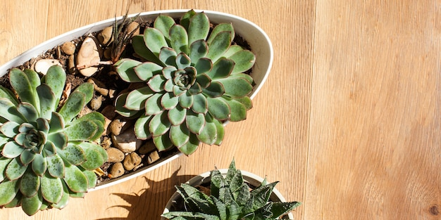 Succulents on a wooden background. concept of home plants, interior decoration with green plants.
